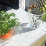 【ついに】今日の水栽培・ニンジン&カジイチゴ【奴が動き出した】
