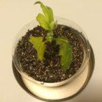 カジイチゴの水挿しを再び植え替え!気を付けたポイントや過程など。