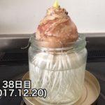 ヒヤシンスの水耕栽培、途中経過を写真付きで紹介!(34日目~46日目)